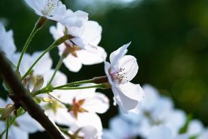 桜の花の写真素材 [FYI04145284]