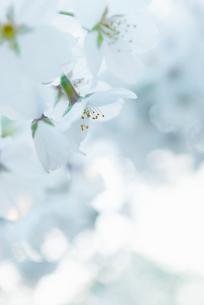桜の花の写真素材 [FYI04145285]