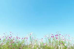 青空とコスモス畑の写真素材 [FYI04145294]