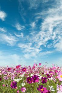 たなびく雲とコスモス畑の写真素材 [FYI04145296]