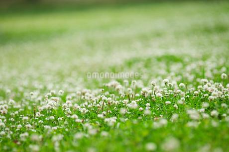 一面にシロツメグサが生える草原の写真素材 [FYI04145301]