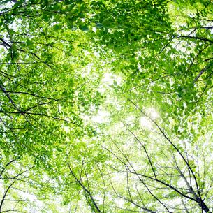 新緑の林と木漏れ日の写真素材 [FYI04145303]