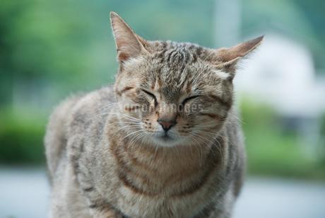 目を閉じるネコの写真素材 [FYI04145319]