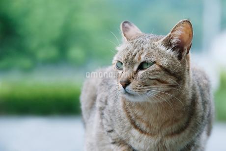 遠くを見つめるネコの写真素材 [FYI04145321]