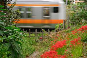 彼岸花と電車の写真素材 [FYI04147512]