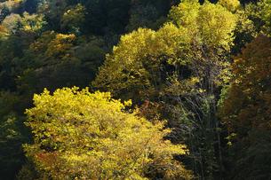 黄葉の写真素材 [FYI04147618]