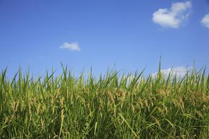 青空に稲の写真素材 [FYI04149097]