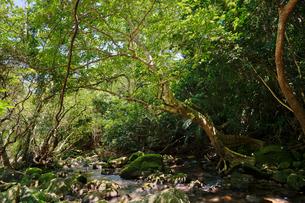 西表島のジャングルの写真素材 [FYI04149180]