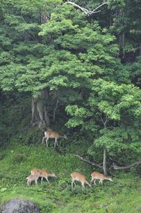 森の中のエゾシカ(北海道・知床)の写真素材 [FYI04149433]