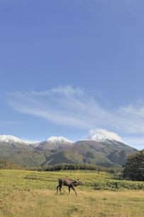 初冠雪の知床連山とエゾシカの雄(北海道・知床)の写真素材 [FYI04149441]