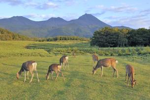 知床連山をバックに群れるエゾシカ(北海道・知床)の写真素材 [FYI04149445]