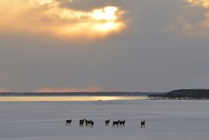 雪原に群れるエゾシカ(北海道・野付半島)の写真素材 [FYI04149455]