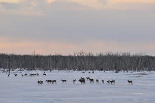 雪原に群れるエゾシカ(北海道・野付半島)の写真素材 [FYI04149456]