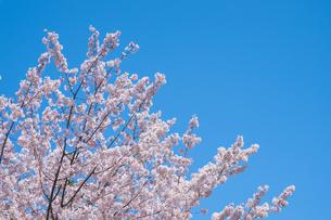 青空の下の桜の花の写真素材 [FYI04149878]