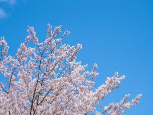 【春】青空の下のソメイヨシノの桜の木の写真素材 [FYI04149880]