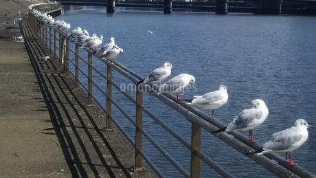 一列に並ぶ鳥 の写真素材 [FYI04150194]