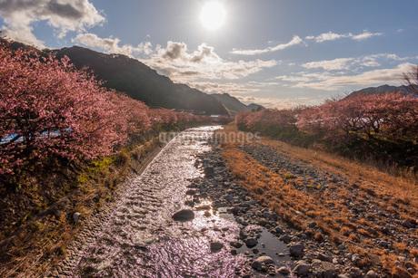 河津桜並木の写真素材 [FYI04150252]