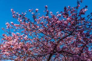 青空に河津桜の写真素材 [FYI04150253]