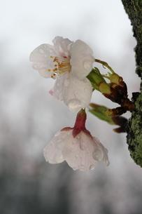 満開の桜のクローズアップの写真素材 [FYI04150300]