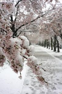 雪の中の満開の桜並木の写真素材 [FYI04150302]
