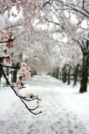 雪の中の満開の桜のトンネルの写真素材 [FYI04150303]
