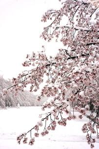 雪の中の満開の桜の写真素材 [FYI04150305]