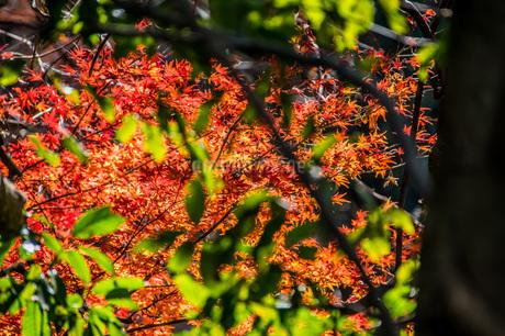 木の隙間から覗き見る紅葉の写真素材 [FYI04150666]
