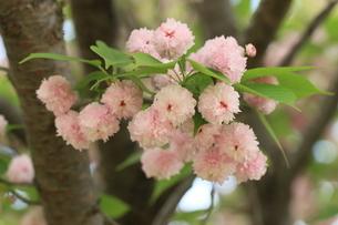 兼六園菊桜の写真素材 [FYI04150695]