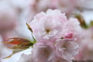 八重桜満開の写真素材 [FYI04150697]