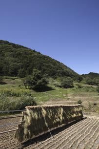 稲のはさがけの写真素材 [FYI04151013]