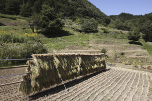 稲のはさがけの写真素材 [FYI04151014]