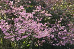 近江神宮の陽光桜の写真素材 [FYI04151529]