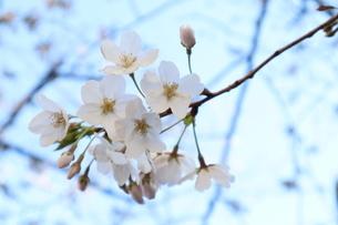 桜の花と青空の写真素材 [FYI04151878]