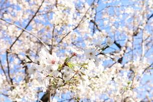 桜の花と青空の写真素材 [FYI04151880]