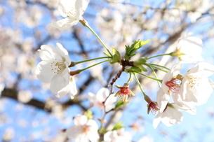 桜の花と青空の写真素材 [FYI04151881]