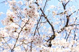 桜の花と青空の写真素材 [FYI04151883]