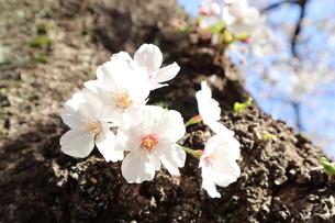 桜の花の写真素材 [FYI04151884]