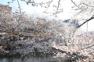 東京、神田川の桜の花8の写真素材 [FYI04151886]