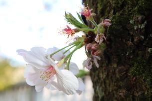 東京、神田川の桜の花7の写真素材 [FYI04151888]