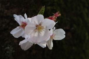 桜の花の写真素材 [FYI04151889]