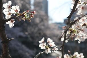 東京、神田川の桜の花5の写真素材 [FYI04151890]