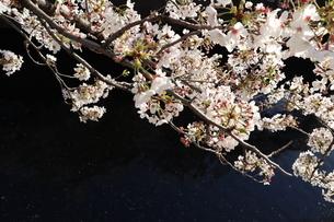 東京、神田川の桜の花4の写真素材 [FYI04151891]