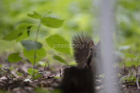 カメラ目線のエゾリスの写真素材 [FYI04152151]