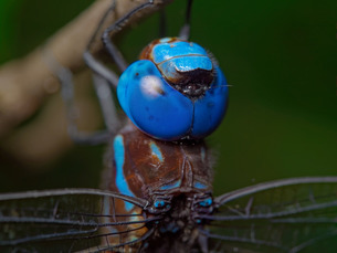 マルタンヤンマ♂の複眼の写真素材 [FYI04152635]