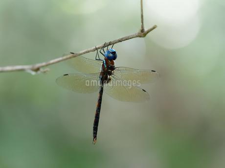 マルタンヤンマ♂(自然光撮影)の写真素材 [FYI04152637]