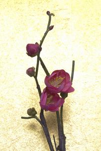 梅の花の写真素材 [FYI04153131]