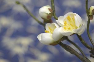 梅の花の写真素材 [FYI04153134]