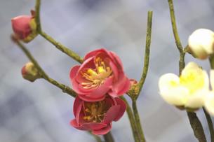 梅の花の写真素材 [FYI04153135]