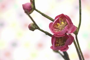 梅の花の写真素材 [FYI04153136]