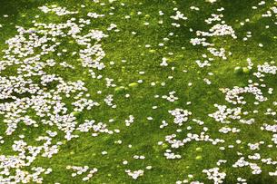 弘前公園のお堀に散った桜の花びらの写真素材 [FYI04153247]